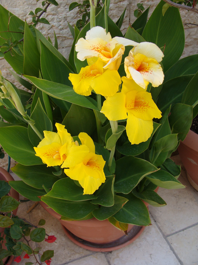 Container Garden-Canna in Bloom