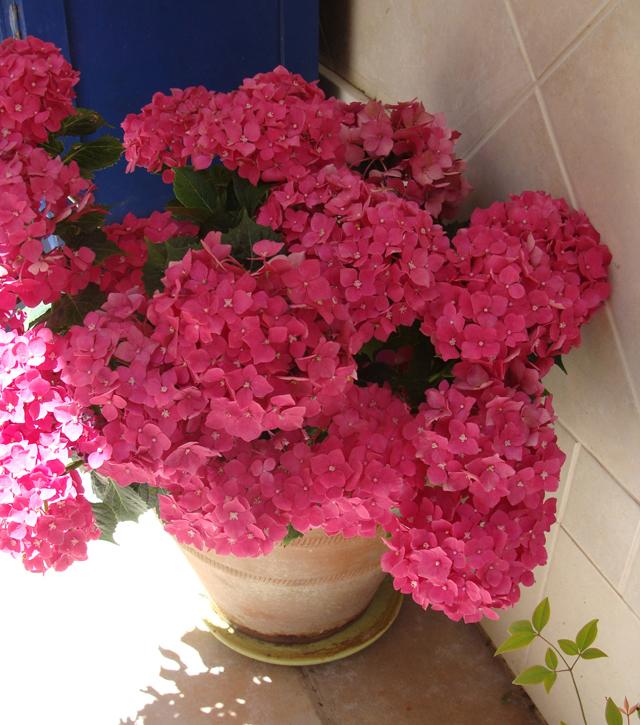 In My Container Garden- Hydrangea