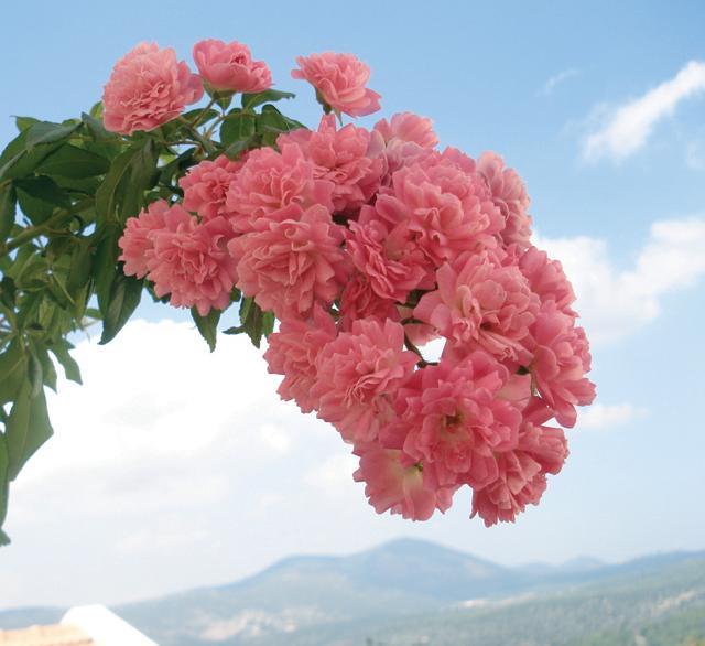 Container Gardening; Climbing Rose