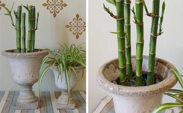 Lucky Bamboo 4 copy