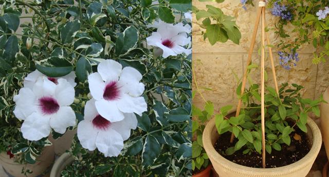 Container Gardening Bower Vine+honeysuckle
