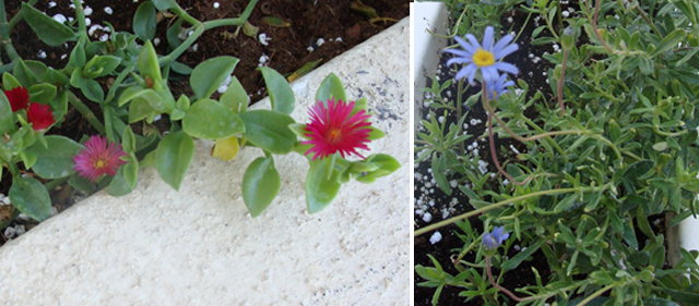 Container Garden Sept Ground Cover Succulent+Purple Mini Daisy