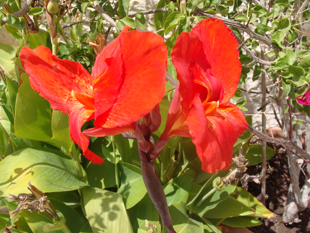 Container GardeningRed Leaved Canna Bloom up close