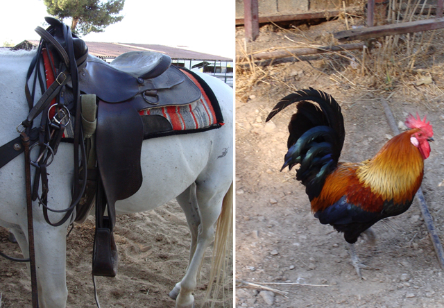 BatYaar Saddle Rooster