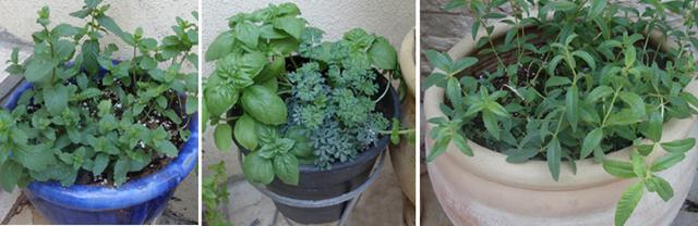 Container Garden Sept Mint, Basil, Louisa
