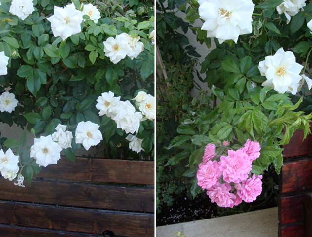 Container Garden Sept Roses