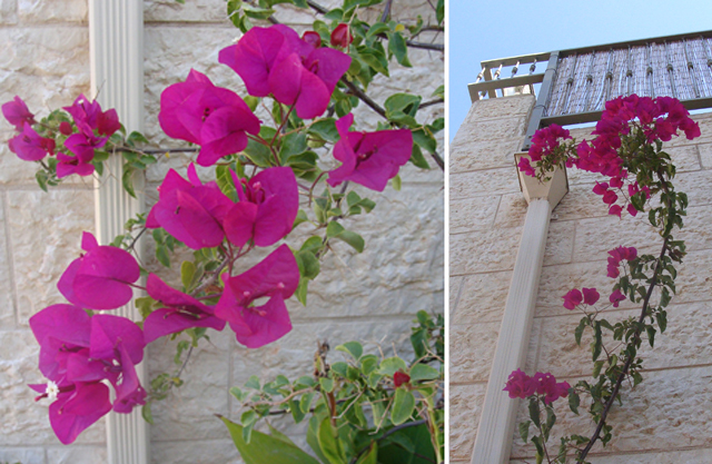 Container Garden Sept Bouganvillea Blooms