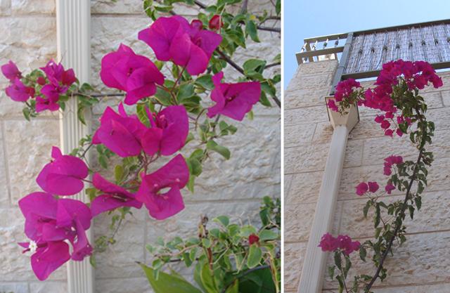 In my september container garden creative jewish mom container garden sept bouganvillea blooms mightylinksfo