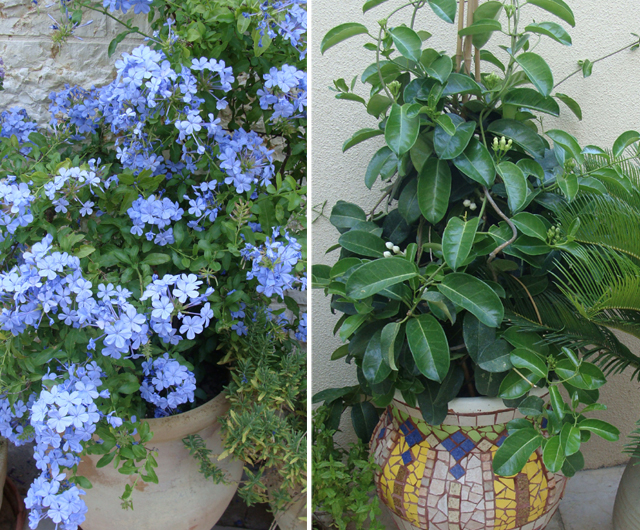 Container Gardening- Plumbago +Stephanoitis copy