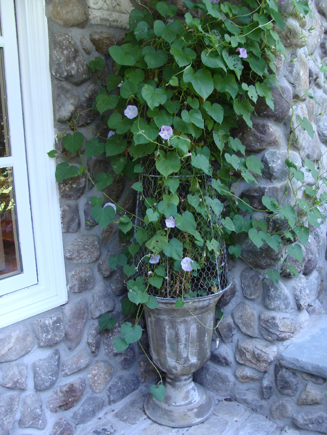 Rose House Entry Morning Glory
