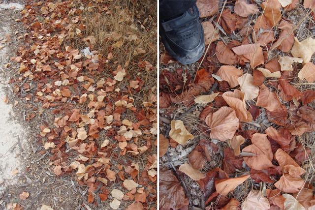 Fall Walk leaves