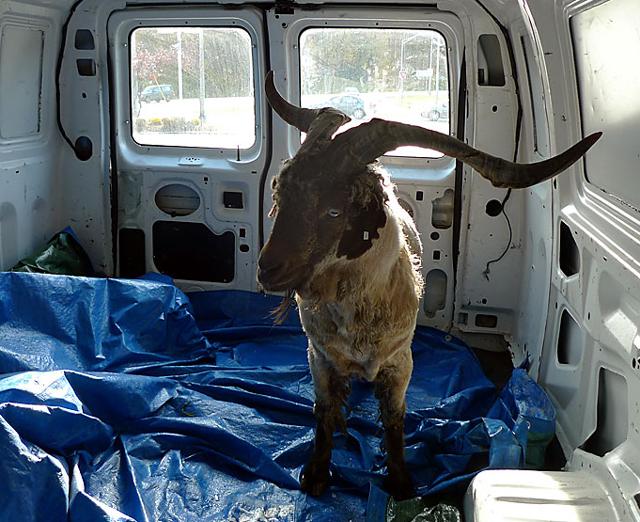 Rose Home Angora Goat Buck