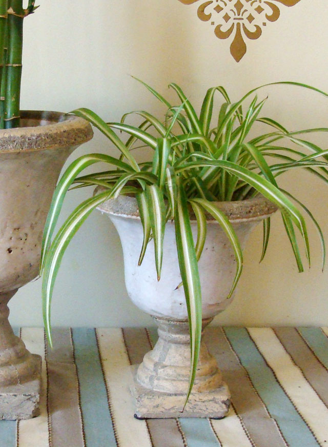 Spider-Plant-In-Water