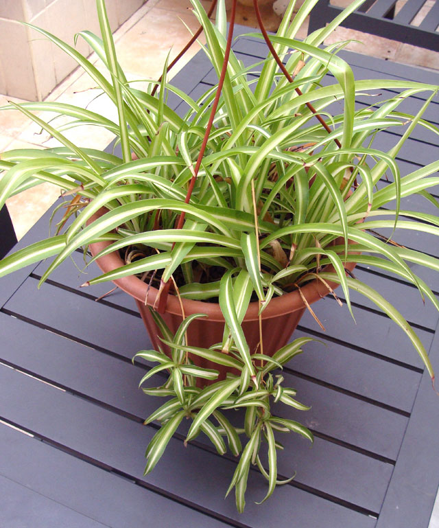 Propagating Spider Plant: The Spider Plant That Keeps On Giving And Giving And