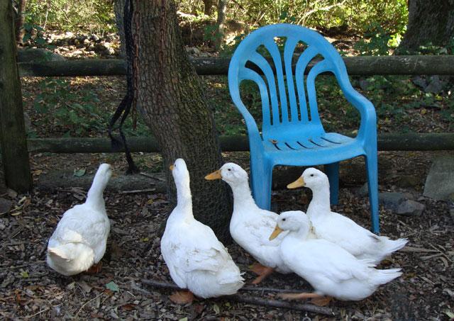 Rose-Home-Ducks