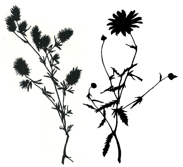Nature Silhoettes Daisy+Bottlebrush