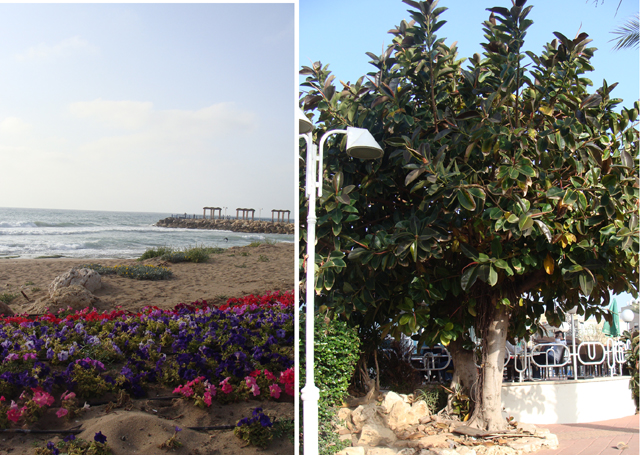 Nahariya Beach +rubber tree