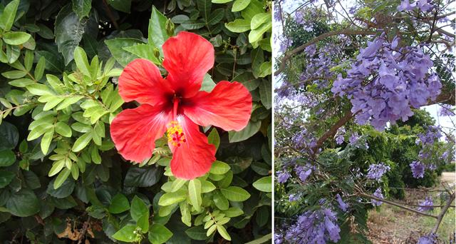 Nahariya Lemen Hibiscus + Jacaranda blooms