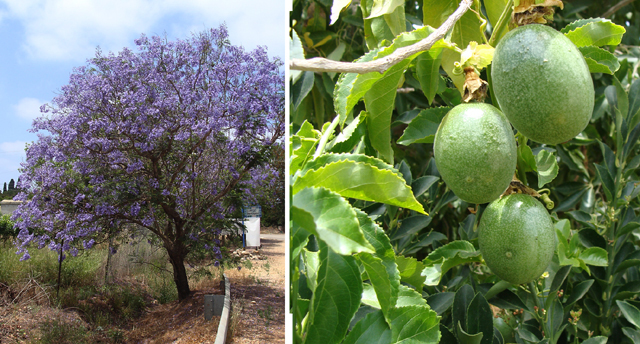 Nahariya Lemen Jacaranda + passion fruit