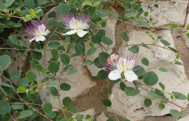 Neighborhood walk passion flower weed