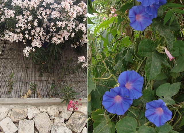 Neighborhood walk-oleander+morning glory