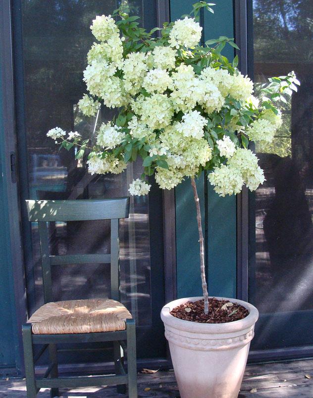 Container Gardening- hydrangea topiary