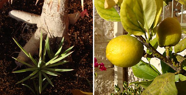 Container gardening- yucca +lemon