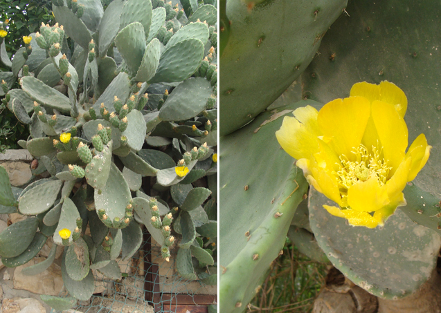 Neighborhood walk;cactus in bloom
