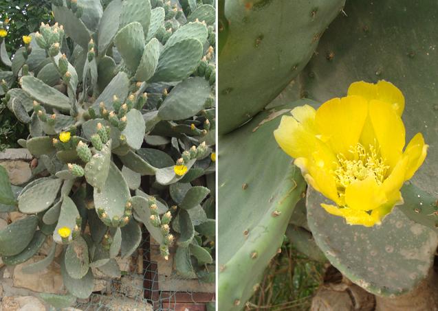 Neighborhood walk;cactus in bloom