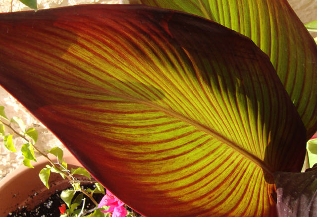 Container gardening; red canna leaf
