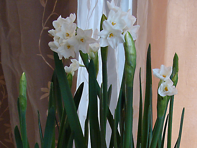 Forced Narcissus-Paper whites In Bloom