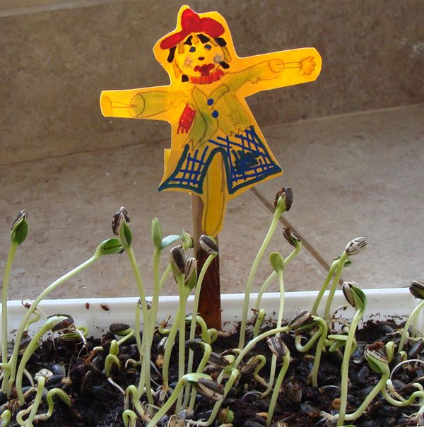 Sprouting Sunflower Seeds Plus A Fun Scarecrow Craft
