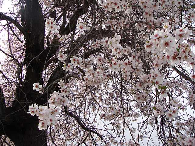 Spring in Israel; almond blossoms close up