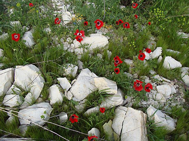 Spring in Israel-Poppies in Bloom