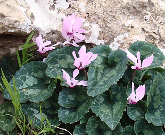Spring in Israel wild cyclamen