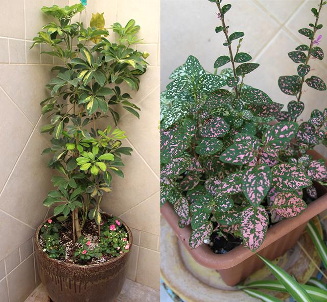 Container Gardening- Polka Dot Plant,Sheflera