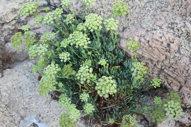 Nahariya Wild Succulents