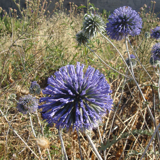 Thistle Balls In Bloom
