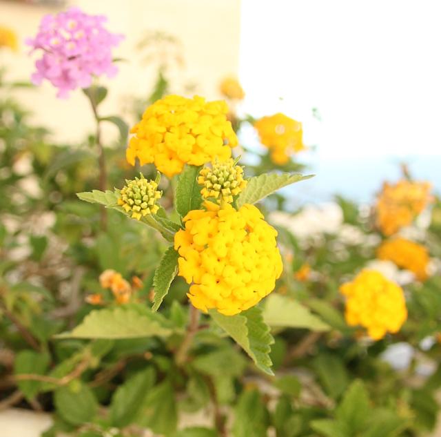 Container Gardening-Lantana