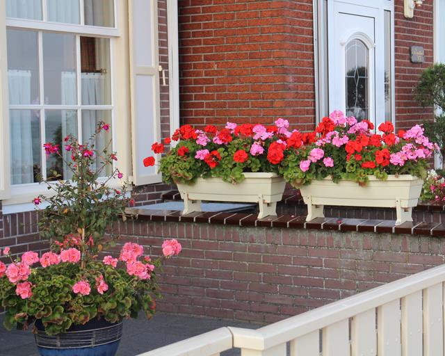 Container gardening in holland geraniums