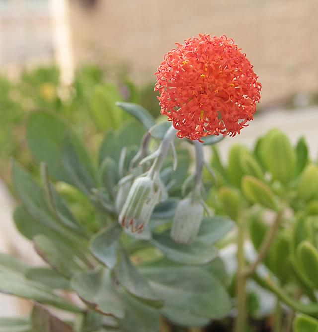 Succulent With Orange Bloom