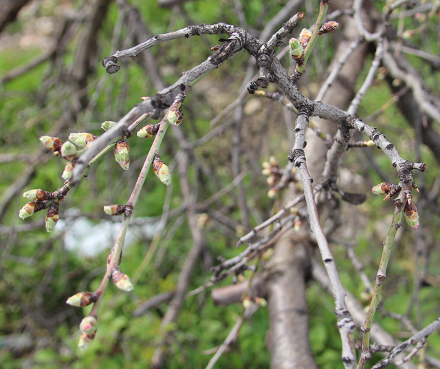 Almond trees in bloom buds