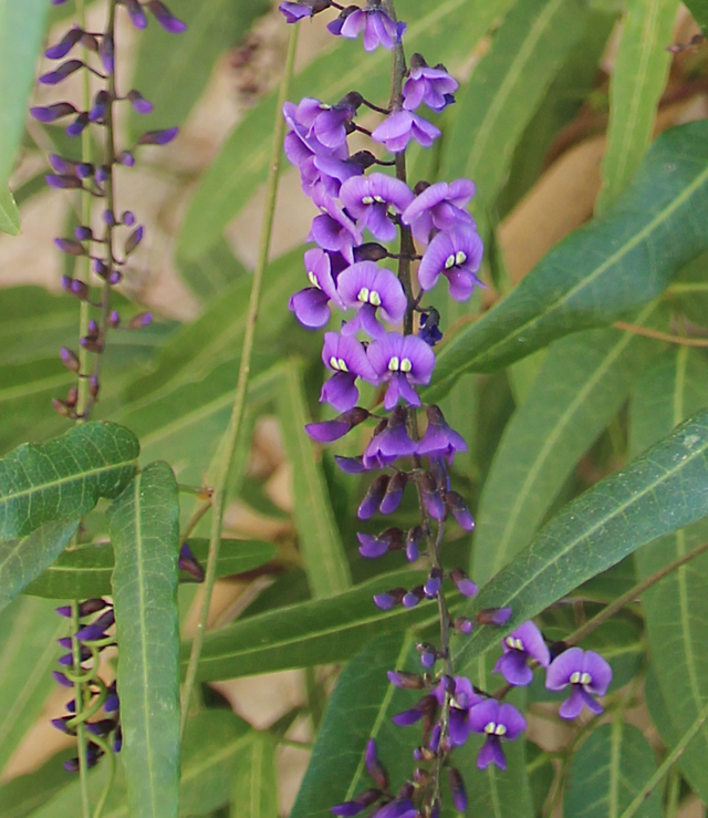 Hardenbergia Winter Flowering Vine In Bloom Creative Jewish Mom