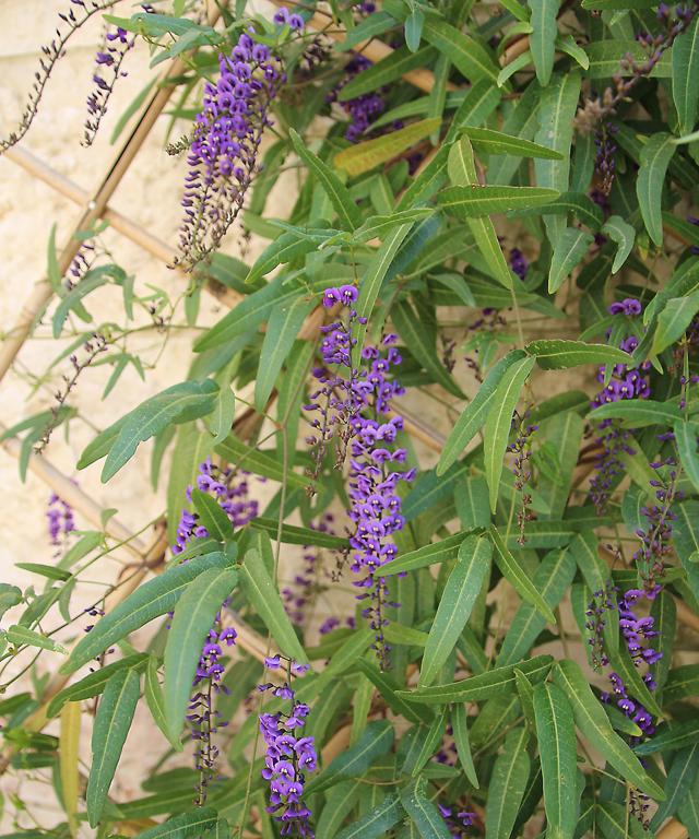 Hedenbergia Winter blooming vine 2012