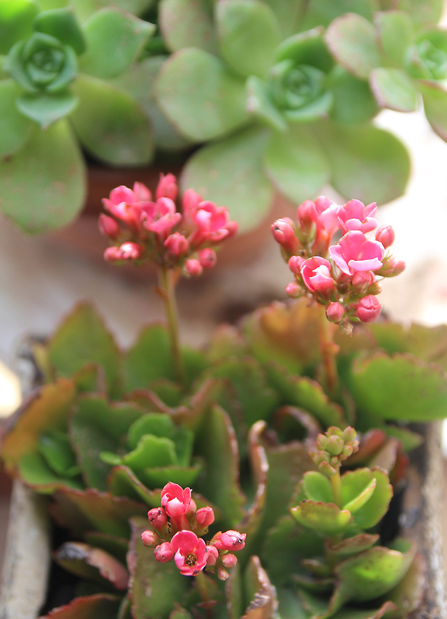 Kalanchoe Cuttings in Bloom close