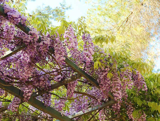 Galil Spring Wisteria