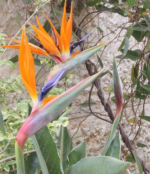 Container Garden Birds of Paradise in bloom