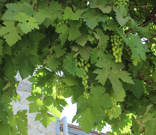 Grape Vine Closeup