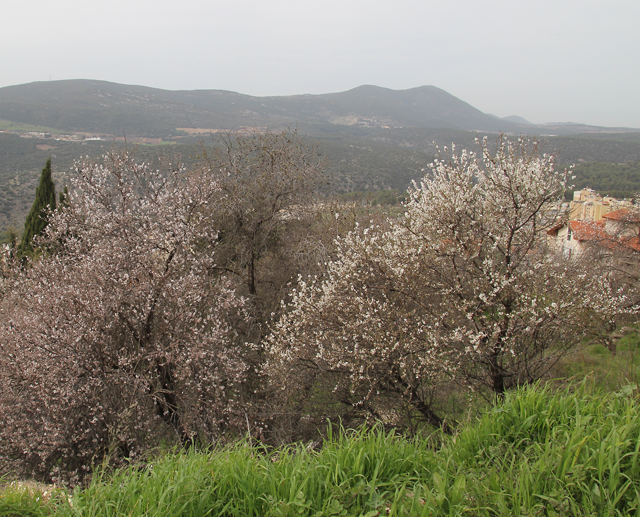 Almond trees in bloom with Har Meron