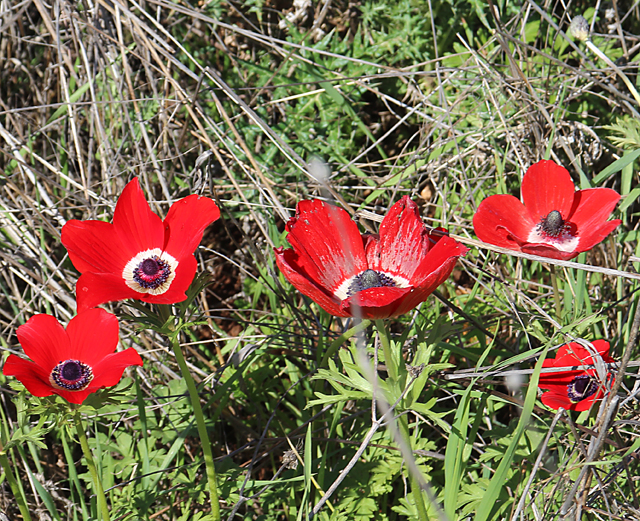 Galil Spring Poppies Close up
